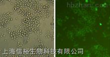 AML-193细胞;人急性单核细胞白血病单核细胞