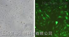 A-431细胞;人表皮癌细胞