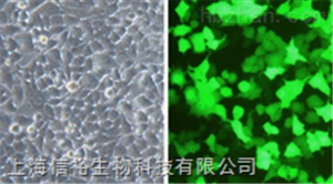 NALM-6细胞;人B淋巴白血病细胞