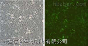 SH-SY5Y细胞;人神经母细胞瘤细胞