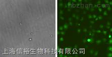 BCP-1细胞;人B淋巴细胞瘤细胞