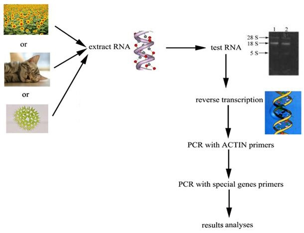 信帆生物为大家图解rt-pcr的实验流程